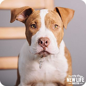 Pit Bull Terrier Puppy for adoption in Portland, Oregon - Gallagher
