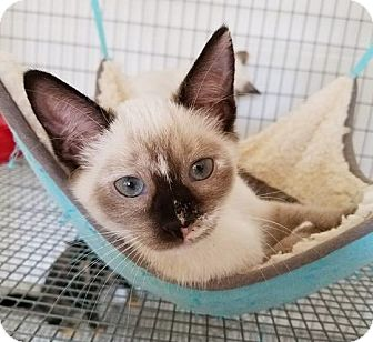 Siamese Kitten for adoption in Umatilla, Florida - Boston