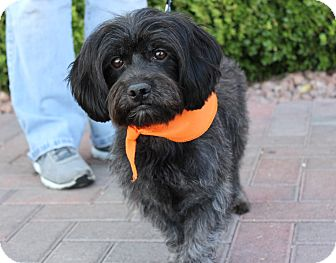 Lhasa Apso Mix Dog for adoption in Las Vegas, Nevada - DAISY DEE
