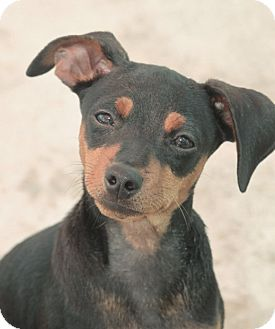 Miniature Pinscher/Chihuahua Mix Puppy for adoption in Jewett City, Connecticut - Cletus - ADOPTED