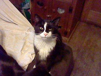 Domestic Mediumhair Cat for adoption in Benton, Pennsylvania - Stripe