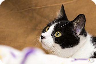 Domestic Shorthair Cat for adoption in Chesapeake, Virginia - Maggie 34182659