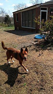 German Shepherd Dog/Shiba Inu Mix Dog for adoption in Mocksville, North Carolina - Bean