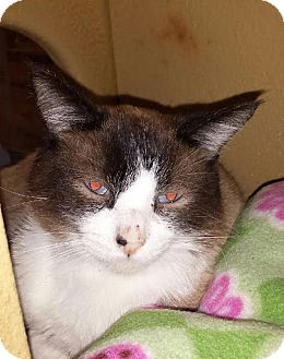Snowshoe Cat for adoption in El Cajon, California - Carmello
