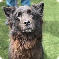 Adopt A Pet :: Noir - Bradenton, FL