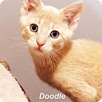Adopt A Pet :: Doodle - Lincoln, NE