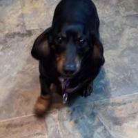 Adopt A Pet :: Mila - Toronto, ON
