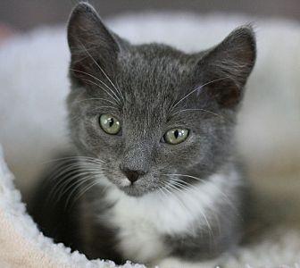 Domestic Shorthair Kitten for adoption in Canoga Park, California - Jill