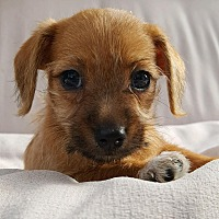 Adopt A Pet :: Minx - Thousand Oaks, CA