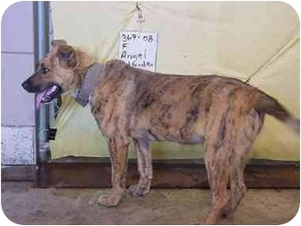 Plott Hound Mix Dog for adoption in Zanesville, Ohio - Angel - RESCUED!