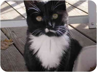 Domestic Mediumhair Cat for adoption in Syracuse, New York - Smudge with brother Thumbs
