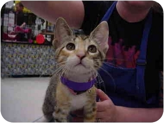 Domestic Shorthair Kitten for adoption in The Colony, Texas - Twiggy