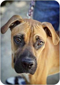 Boxer Mix Dog for adoption in Lake Arrowhead, California - Bones