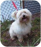 Maltese Mix Dog for adoption in West Warwick, Rhode Island - Eddie - Has Video!