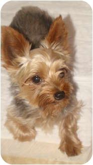 Yorkie, Yorkshire Terrier Dog for adoption in Millersburg, Ohio - Cody
