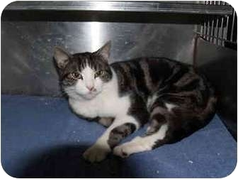American Shorthair Cat for adoption in El Cajon, California - Charlie