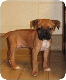 Boxer Mix Puppy for adoption in Jackson, Michigan - Henna