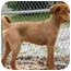 Photo 3 - Golden Retriever Mix Dog for adoption in PORTLAND, Maine - CJ Brown