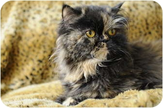 Persian Cat for adoption in Columbus, Ohio - Lady Joy