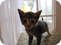 Domestic Shorthair Kitten for adoption in Tampa, Florida - Monica