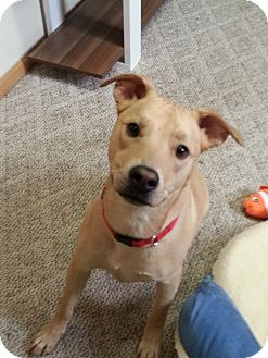 Labrador Retriever/American Pit Bull Terrier Mix Puppy for adoption in Indianapolis, Indiana - Dexter