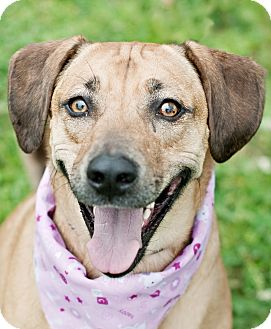 Catahoula Leopard Dog/Hound (Unknown Type) Mix Dog for adoption in Portsmouth, Rhode Island - Baloo-LOCAL!