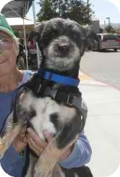 Terrier (Unknown Type, Small) Mix Dog for adoption in Anza, California - Cesar