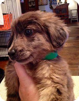 Australian Shepherd/Labrador Retriever Mix Puppy for adoption in ST LOUIS, Missouri - Sprinkles