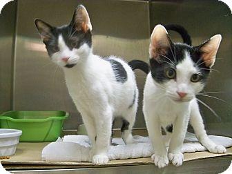 Domestic Shorthair Kitten for adoption in Secaucus, New Jersey - Aspen
