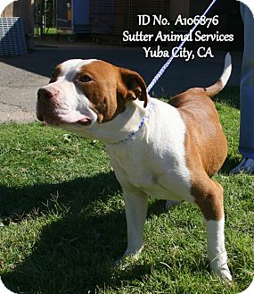 American Pit Bull Terrier Mix Dog for adoption in Yuba City, California - 09/24 BamBam