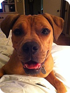 Boxer Mix Puppy for adoption in Huntsville, Alabama - Sangria