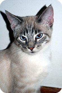 Siamese Cat for adoption in Overland Park, Kansas - Finnegan