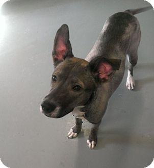 Greyhound/Shepherd (Unknown Type) Mix Dog for adoption in Berlin, Connecticut - Mercedes