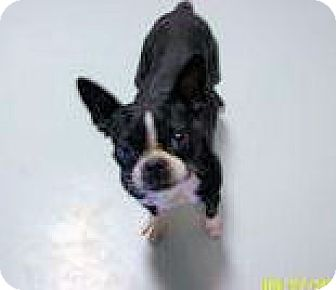 Boston Terrier Dog for adoption in Hartford, Kentucky - Chloe