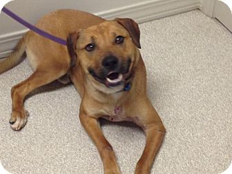 Black Mouth Cur/Labrador Retriever Mix Dog for adoption in Branford, Connecticut - Colonel Beau