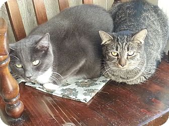 Domestic Shorthair Cat for adoption in Statesville, North Carolina - Maze
