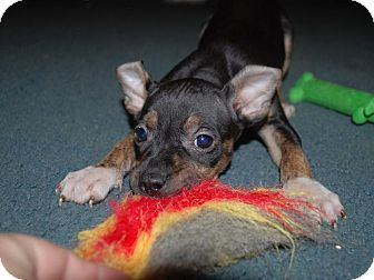 Terrier (Unknown Type, Medium)/Pit Bull Terrier Mix Puppy for adoption in Parker, Colorado - Lacy
