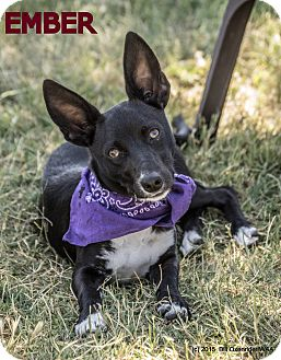 Manchester Terrier/Chihuahua Mix Puppy for adoption in Patterson, California - Ember