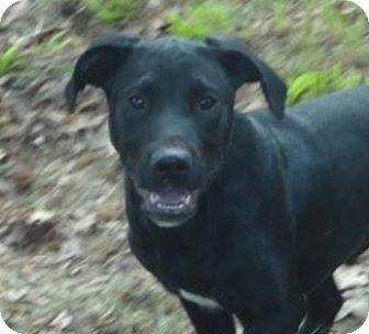 Labrador Retriever Mix Dog for adoption in Williston, Vermont - Cade