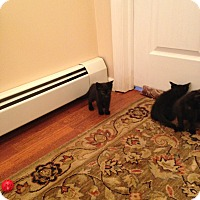 Adopt A Pet :: Black Kittens - Harriman, NY