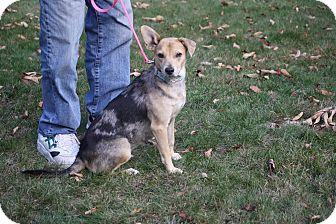 Australian Shepherd Mix Dog for adoption in West Milford, New Jersey - POSH-pending