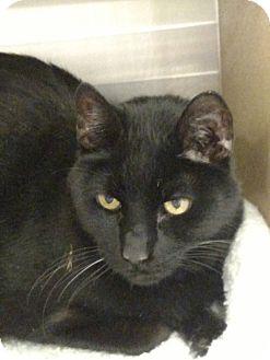 Domestic Shorthair Cat for adoption in Pueblo West, Colorado - Bear