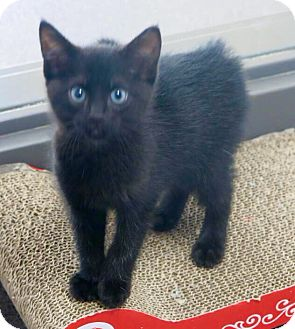 Domestic Shorthair Cat for adoption in Manteca, California - Little One