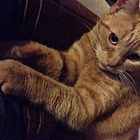 Domestic Mediumhair Cat for adoption in Mission Viejo, California - Cutie