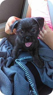 Pug/Shih Tzu Mix Puppy for adoption in Sacramento, California - Gremlin