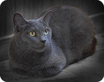 Russian Blue Cat for adoption in Earl, North Carolina - Bella