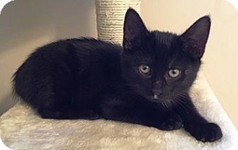 Domestic Shorthair Kitten for adoption in Lebanon, Pennsylvania - Smudge