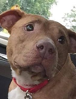 Pit Bull Terrier/Hound (Unknown Type) Mix Dog for adoption in Mount Holly, New Jersey - Julie