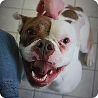 American Bulldog Mix Dog for adoption in Seattle, Washington - Lois Lane