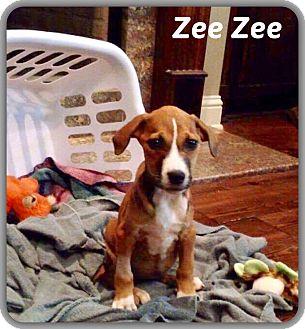 Boxer Mix Puppy for adoption in DeForest, Wisconsin - Zee Zee